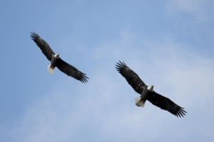 Pair of Adult Bald Eagles (haliaeetus leucocephalus)